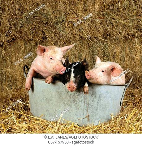 Old Berkshire and large white breed piglets