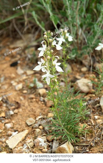 Hierba de la cruz or pinillo bastardo (Teucrium pseuodochamaepitys) is a perennial herb native to western Mediterranean Basin