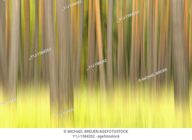 Forest, Pines, Hesse, Germany, Europe