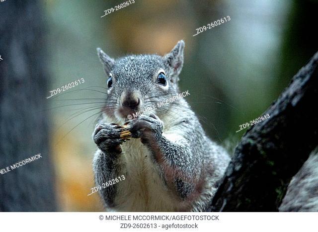 A gray squirrel enjoys a snack