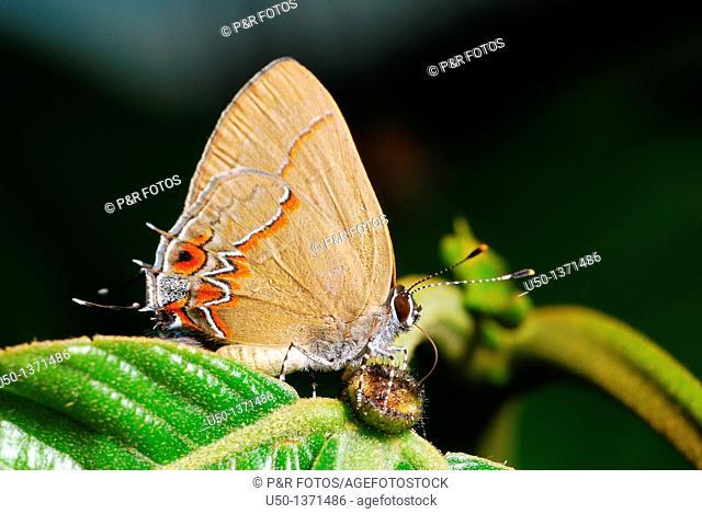 Hairstreaks butterfly Lycaenidae, Lepidoptera, Insecta on nectaries of Inga edulis, Leguminosae-Mimosoideae, Brazil, 2009