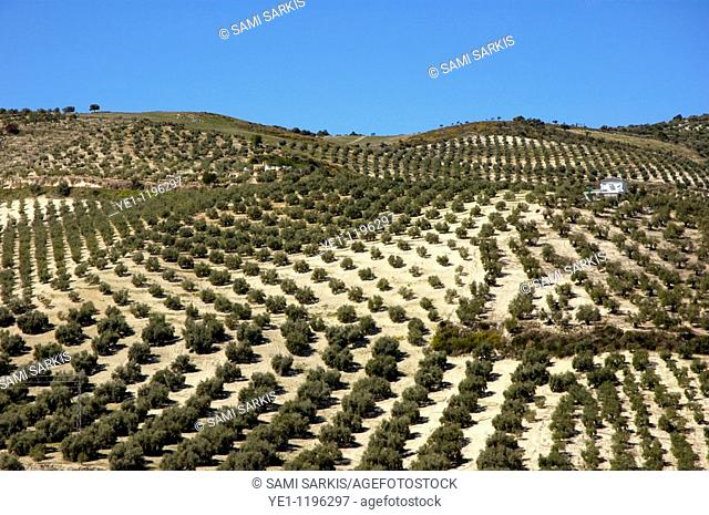 Rows of olive trees growing in the village of Baena, Andalusia, Spain