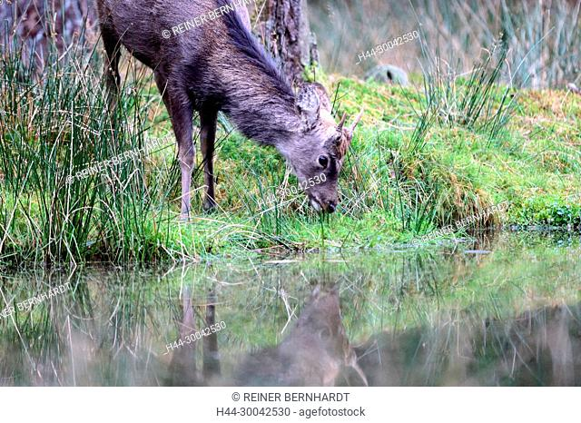 Asian deer, Asian deer, rutting season of the Sikahirsche, Cerviden, Cervus nippon, antler bearer, deer, deer, Sika, Sikahirsch, Sikahirsche