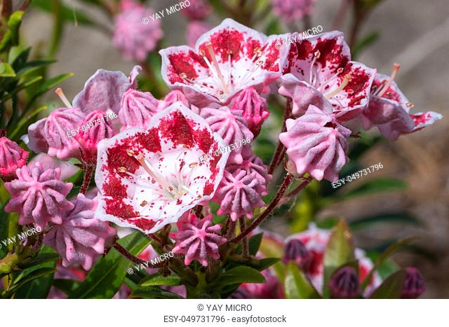 Mountain laurel (Kalmia latifolia), close up of the flower head