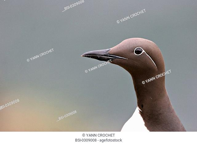 Common murre Common murre Uria aalge, Shetland Islands, Scotland. The shape said 'bridled' havs a white ring around the eye extending as a white line behing the...