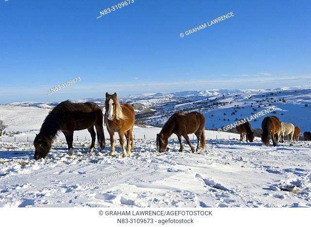 Welsh Mountain Ponies in the snow on the Mynydd Epynt moorland, Powys, Wales, UK