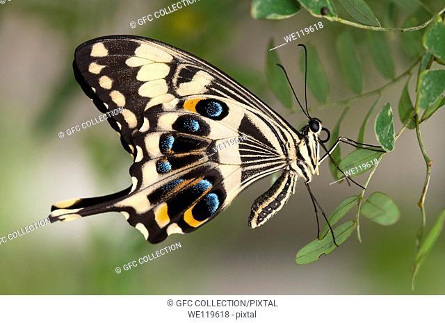 Emperor Swallowtail, Papilio ophidicephalus, Swallowtails Papilionidae