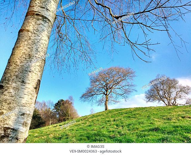Birch tree and oak tree in background, Sariego municipality, Asturias, Spain