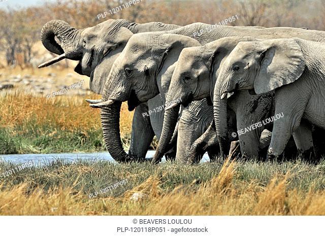 African Bush Elephant / Savanna Elephant Loxodonta africana family group with young drinking from water hole, Etosh