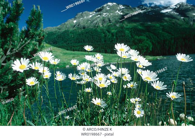 Ox-eye, Daisies, Graubuenden, Oberengadin, Switzerland,Chrysanthemum, leucanthemum, Leucanthemum, vulgare
