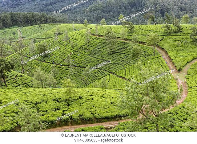 Picking in a Tea Plantation, Nuwara Eliya District, Central Province, Sri Lanka, Asia
