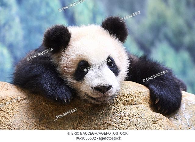 Playfull giant Panda cub (Ailuropoda melanoleuca) investigating its enclosure. Yuan Meng, first giant panda ever born in France, is now 8 months old