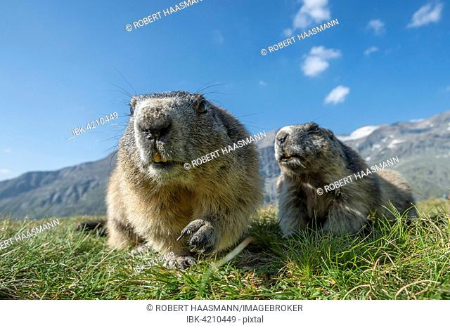Two alpine marmots (Marmota marmota), High Tauern National Park, Carinthia, Austria