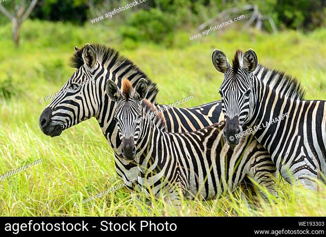Plains zebra, also known as the common zebra or Burchell's zebra (Equus quagga), formerly Equus burchellii). Western Shores. iSimangaliso Wetland Park