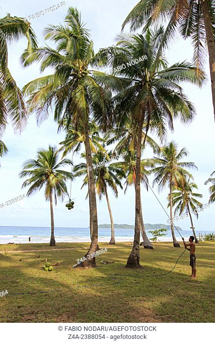 Nacpan, Philippines: Man harvesting coconuts in Palawan, in the Philippines