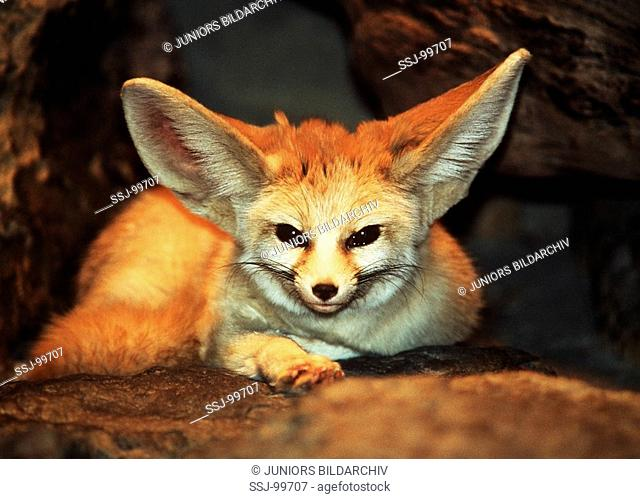 vulpes zerda / fennec fox
