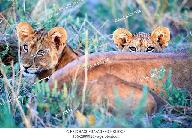 Two African lion cub (Panthera leo) resting behind lioness. Moremi National Park, Okavango delta, Botswana