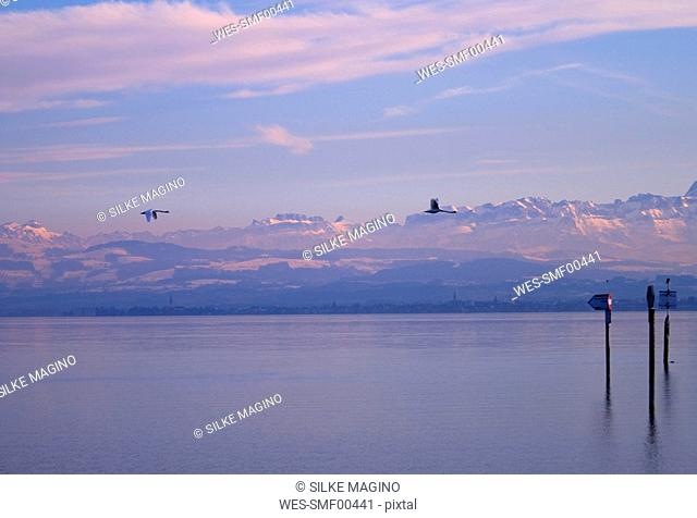 Germany, Baden W¸rttemberg, Immenstaad, Swans flying over water