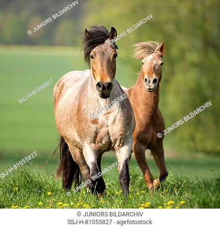 Pony and coldblooded horse galloping on a flowering meadow. Germany