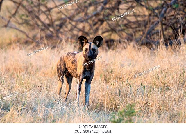 Portrait of an african wild dog (Lycaon pictus), Savuti marsh, Chobe National Park, Botswana