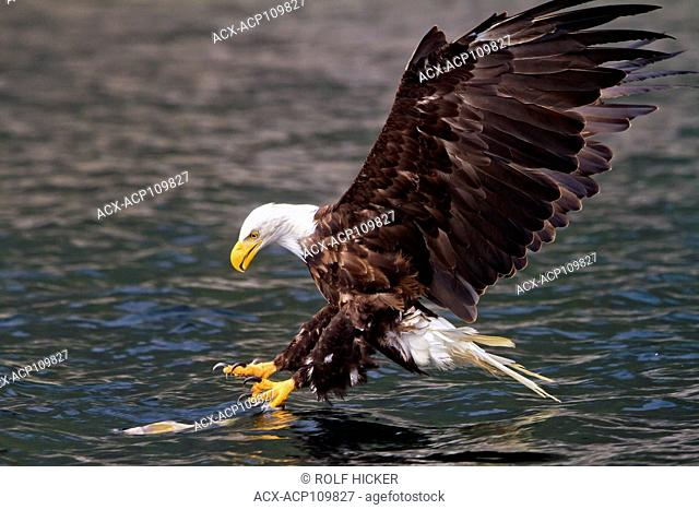 Bald eagle just before catching a fish in Broughton Archipelago Provincial Park, British Columbia, Canada. haliaeetus leucocephalus