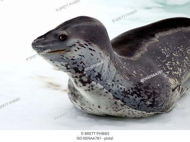 Leopard Seal on the ice floe, in the southern ocean, 180 miles north of East Antarctica, Antarctica