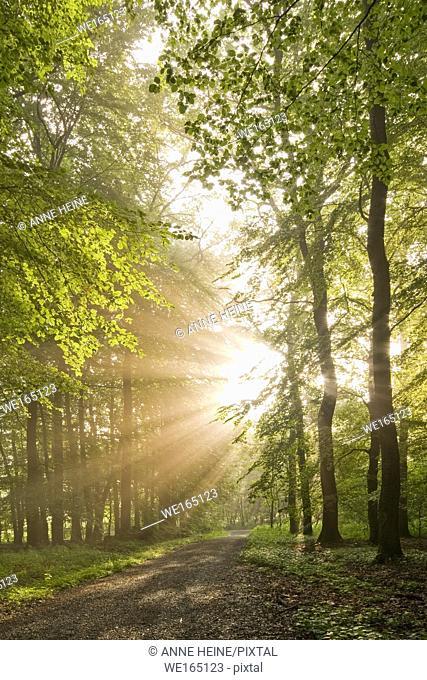 Sunbeams shining through forest trees. As seen in Belecke, Arnsberger Wald, Sauerland, Germany