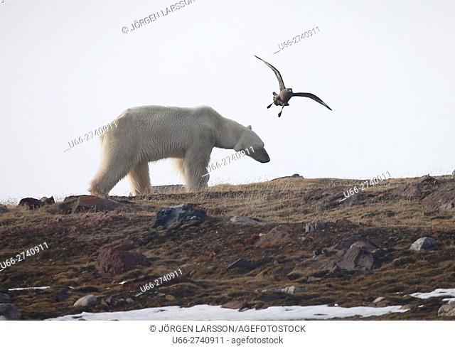 Ice Bear, Svalbard, Norway