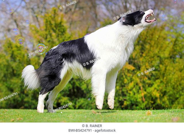 Australian Shepherd (Canis lupus f. familiaris), six years old male dog catching a soap-bubble, side view, Germany