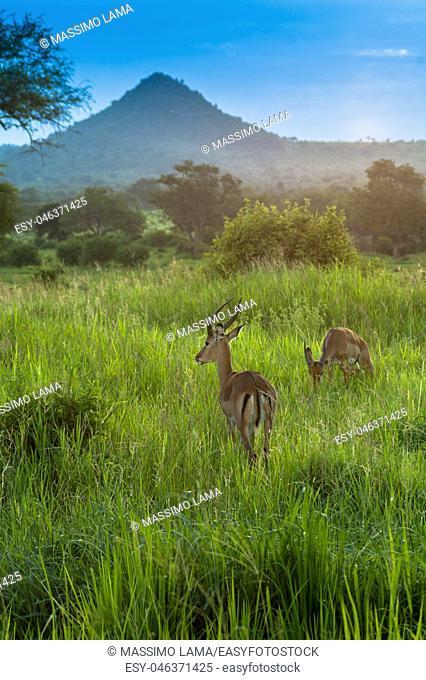 Antelope earing the danger, Serengeti game park, Tanzania