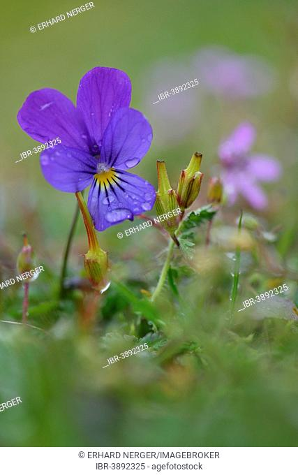 Heartsease or Wild Pansy (Viola tricolor), Emsland, Lower Saxony, Germany