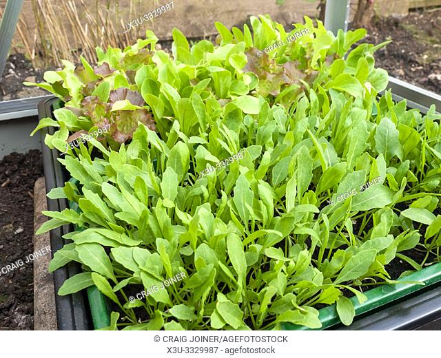 Rocket, or Arugula (Eruca sativa) and mixed lettuce seedlings being grown in a greenhouse