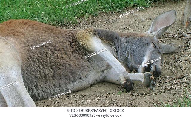 Kangaroo sleeping and rolling over