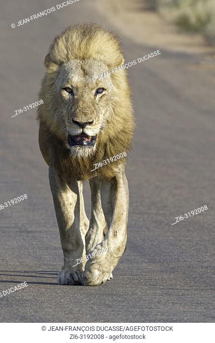 African lion (Panthera leo), adult male, blind of an eye, walking on a tarred road, Kruger National Park, South Africa, Africa