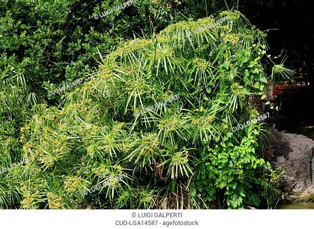 Cyperus alternifolius, umbrella plant