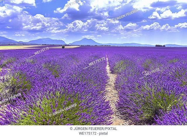 wide lavender fields on the Plateau de Valensole, Provence, France, department Alpes-de-Haute-Provence, region Provence-Alpes-Côte d'Azur
