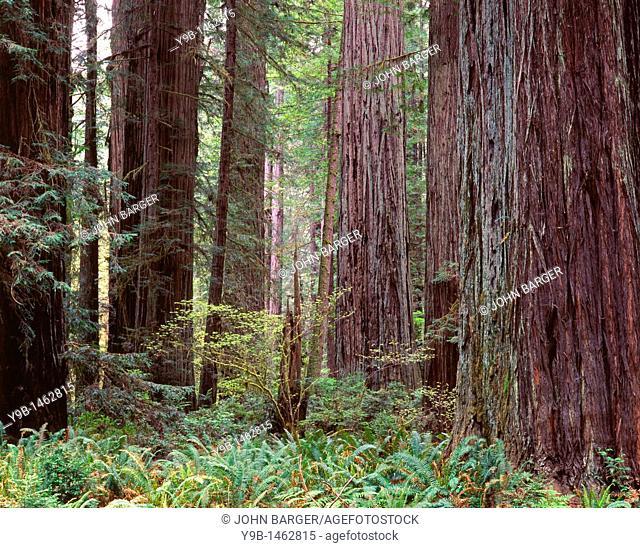 Redwoods Sequoia sempervirens tower above ferns in understory, Prairie Creek Redwood State Park, northern California, USA