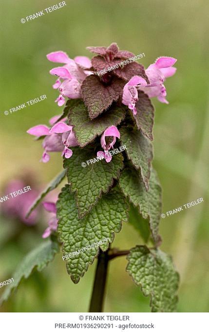 Red deadnettle, Lamium purpureum / Purpurrote Taubnessel, Lamium purpureum
