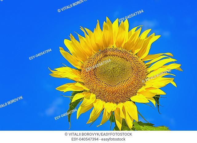Closeup of flower sunflower on background of blue sky with clouds