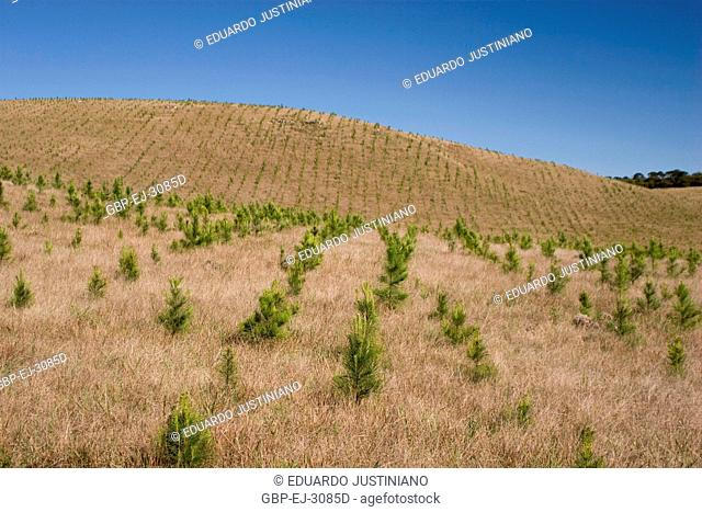 Plantation of Pinus in Campos of Top, São José dos Ausentes, Rio Grande do Sul, Brazil