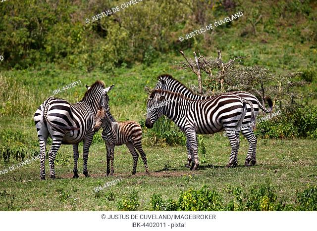 Zebra family (Equus quagga) including mother with young animal, Arusha National Park, Tanzania