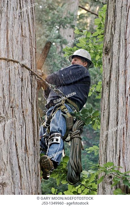 Logger using climbing equipment to cut tree with chainsaw