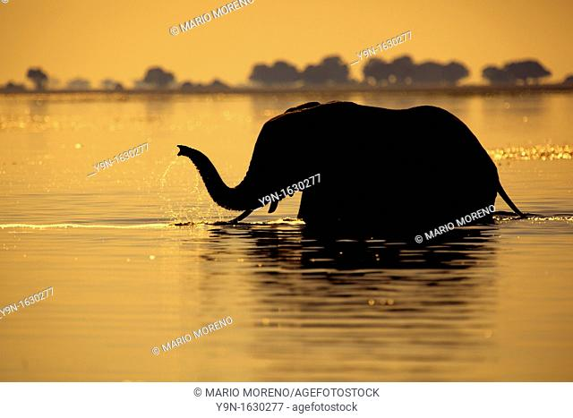 Elephants Loxodonta Africana at sunset in Chobe National Park, Botswana