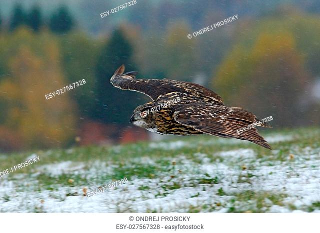 Eurasian Eagle Owl fly hunting during winter surrounded with sno