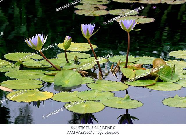 Waterlily (Nymphaea) hybrid, Florida