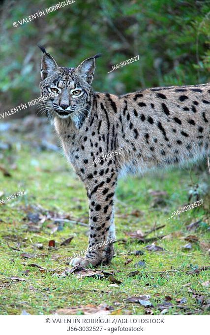Iberian lynx (Lynx pardinus) in Sierra Morena. Andalucía