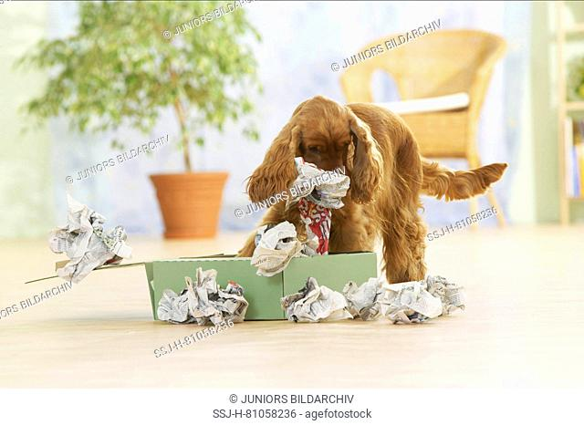 English Cocker Spaniel, Adult dog investigating a box filled with paper. Germany