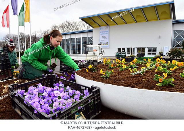 A gardener plants pansies outside of a hall at egapark in Erfurt,Germany, 28February 2014. The start of the season at egapark will be marked with the...