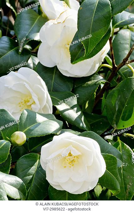 Camellia japonica 'Tricolor White' (USA) 1937