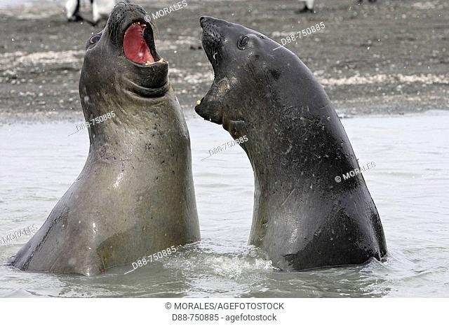 Southern Elephant Seal (Mirounga leonina), males fighting. South Georgia, SGSSI, UK